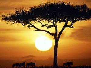 Wildebeests Safari